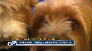 Yorkies recovering after hoarding rescue [Video]
