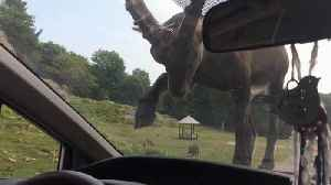 *Surprise* A Ram Jumps On Top Of The Family Car [Video]