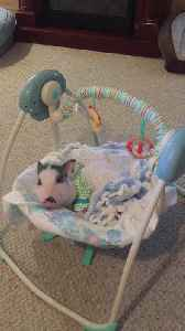 Spoiled piglet loves napping in baby swing [Video]