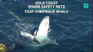Gold Coast Shark Safety Nets Trap Whale [Video]