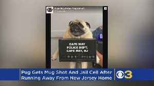 Cape May Police Post 'Mugshot' Of Pug That Ran Away From Home [Video]