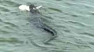 Charlie the Alligator Spotted With Shark in His Mouth off South Carolina Coast [Video]