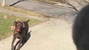 Big Dog Chases A Tennis Ball And Drags A Small Dog [Video]