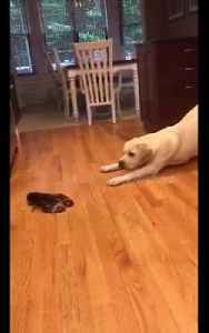 Adorable yellow Lab confused by lobster encounter [Video]