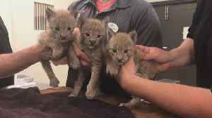 New Jersey's Six Flags Great Adventure Welcomes Adorable Triplet Lynx Cubs [Video]