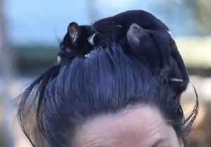 Tasmanian Devils Dash and Violet are Tiny Terrors [Video]