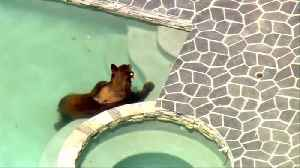 Bear cools off in a California pool [Video]
