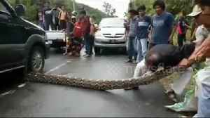 Concerned citizens rescue 10m-long python runover by car [Video]
