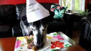 12-year-old Great Dane celebrates birthday with special dinner [Video]