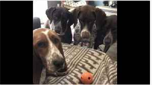 German Shorthaired Pointers Obsessed With Basset Hound's Toy Ball [Video]