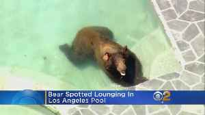 Bear Spotted Lounging In Los Angeles Pool [Video]