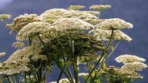How to avoid dangerous giant hogweed [Video]