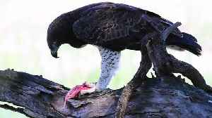 Martial eagle feeding on a Monitor lizard in Kruger Park. [Video]