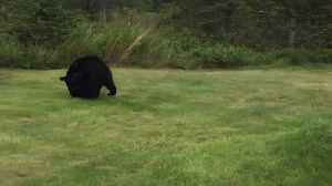 Bear Cubs Play in Woman's Yard [Video]