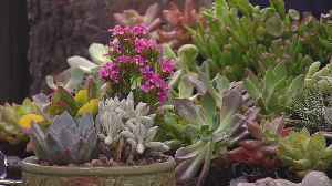 Succulents, Cacti Popping Up Everywhere [Video]