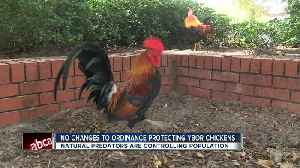 Ybor City roosters are here to stay thanks to council's decision to leave ordinance alone [Video]
