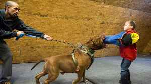 Hulk 'Attacks' 6-Year-Old Pit Bull Trainer | DOG DYNASTY [Video]