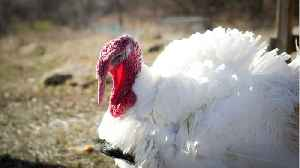 90 People Sickened By Salmonella Traced To Raw Turkey [Video]