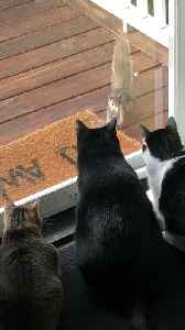 Squirrel Taunts Pack of Cats [Video]