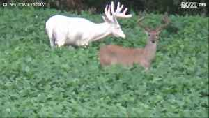 Rare albino deer spotted in Illinois [Video]