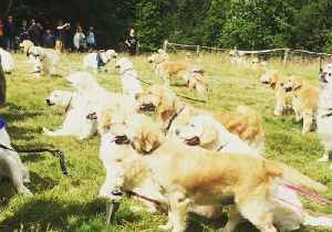 Hundreds of Golden Retrievers Gather in Scotland to Mark Breed's 150th Anniversary [Video]