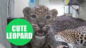 Two Sri Lankan leopard cubs and their mum playing [Video]