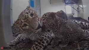 This Delightful Footage Shows Two Sri Lankan Leopard Cubs And Their Mum Playing At Royal Burger's Zoo In Holland [Video]