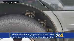 Hitchhiking Raccoons Get A Lift From Police [Video]