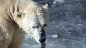 Polar Bear Killed By Cruise Worker [Video]