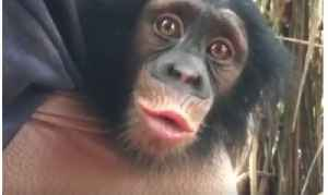 Adorable Baby Chimp Finds His Voice Learning to Communicate With Handlers [Video]
