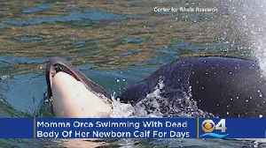 Mourning Orca Mother Carries Dead Calf For Week During 'Deep Grieving' [Video]
