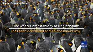 Mystery as Nearly 90 Percent of King Penguin Colony Vanishes [Video]
