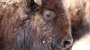 Man Arrested For Taunting Bison [Video]