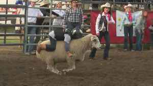 5-Year-Old Sets Mutton Busting Record [Video]