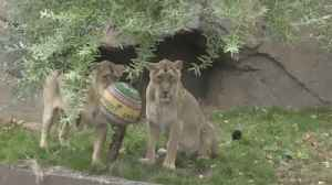 Asiatic lions enjoy some ball-playing at London Zoo [Video]