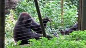 Rescued Gorilla Uses Stick to Help Reach Some Tasty Greens Outside Her Enclosure [Video]