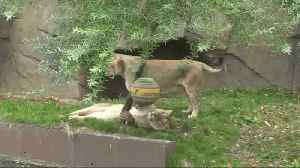 London Zoo lions treated to new toys for World Lion Day [Video]