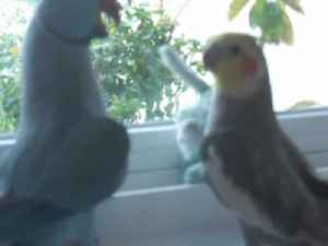 Parrot Tells Cockatiel She's Cute And Then Asks For Kiss [Video]