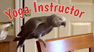 Yoga Instructing Parrot Demonstrates Relaxing Poses [Video]