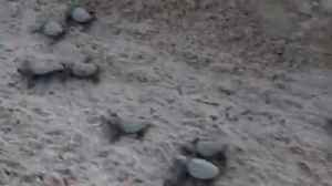 WEB EXTRA: Sea Turtles Hatch and Enter Ocean on Key West Beach [Video]