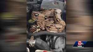 Driver rattled by boa constrictor hiding underneath hood of car [Video]