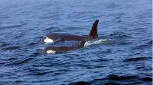 Killer Whale Has Carried A Dead Calf For Two Weeks [Video]