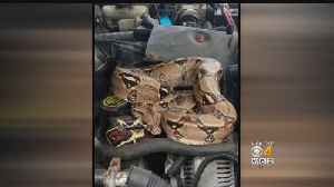 Stoughton Driver Finds Boa Constrictor Under Hood Of Car [Video]