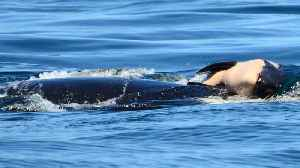 A grief-stricken orca who refused to leave her dead kid and swam 1,000 miles with her has finally said goodbye [Video]
