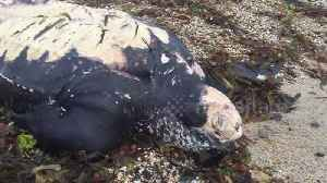 Huge leatherback turtle washes up on Cornish beach [Video]