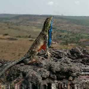 Beautiful Display from the Fan-Throated Lizard [Video]