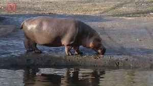News video: Tourist Killed in Kenya Hippo Attack While Taking Photos, Another Hospitalized