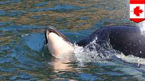 Emotional killer whale mother lets go of dead calf after 17 days [Video]