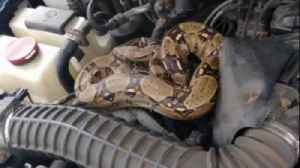 News video: Man Discovers Boa Constrictor in Car Hood: 'My Heart Stopped'