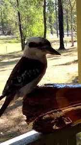 Didgeridoo Player Serenades Kookaburra [Video]